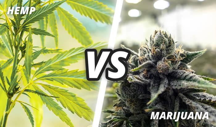 Hemp vs Marijuana